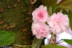 Les fleurs sont jolies, dès que le printemps revient 07 (letexierpatrick) Tags: printemps fleurs flowers fleur floraison flower france nature nikond7000 nikon jardin botanique macro cerisierdujapon cerisier jardindesplantes