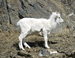 Dalls (J.P. EVERETT) Tags: ovis dalli dalls dall sheep alaska ak turnagain arm wildlife outdoor outdoors