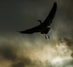 Moonlit Flight (annemcgr) Tags: heron flight birds moon clouds silhouette fineartphotography annemcgrath