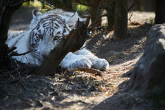 Tigre blanc | White tiger (jordanc_pictures) Tags: zoo zoodamnéville animal animals tiger tigre tigreblanc whitetiger