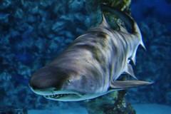 hai (Hugo von Schreck) Tags: hugovonschreck fish fisch shark hai canoneos5dsr tamronsp35mmf18divcusdf012 mehlis thüringen deutschland