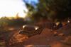 trippin' at the beach.. (Rob Valentic - Gondwana Reptile Productions) Tags: primagonat45 cedunareptiles elapid neurotoxic medicallysignificantsnakes beachsnakes coastalsanddunes coastalheathlandsnakes coastallimestone aridaustralianreptiles commondeathadder acanthophisantarcticus chenopodshrubland ambush caudalluring iconicaustralianlandscape nullarborplainreptiles southaustraliansnakes coastalcommondeathaddersa robvalentic bokehofvintageprimes retroreptileimages retromeyer goldenhourbokeh oldlensnewcamera shootwideopen manuallens germanglass theartofvintageglass vintagelens sandandsky shotwideopen m42adaptereos m42bokeh ilovemyprimagon 3545primagon redv 35mmgerman 9mmextensiontubem42 canoneos5dmark3 psychedeliceffectprimagon meyeroptikgorlitzprimagonwideangle meyeroptik gorlitz m42redvcoated35primagonmeyer vintagemeyeroptikwideanglef45 spectacularaustraliansnakes