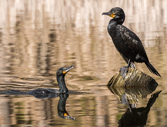 _DSC6504-Edit-7 (doug.metcalfe1) Tags: 2017 cormorant dougmetcalfe highpark nature ontario outdoor spring toronto bird
