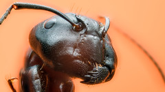 (Gi)Ant (bigmike.it) Tags: extreme macro formica componon 284 reversed ant enfuse alignimagestack