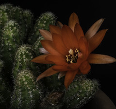 Red Flower On A Green Cactus (Bill Gracey 15 Million Views) Tags: red green fleur flor flower nature naturephotography homestudio blackbackground offcameraflash yongnuorf603n yongnuo tabletopphotography macrolens sidelighting filllight