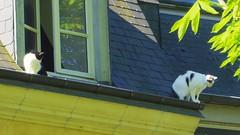 Chats  perchés (Avril 2017) (Ostrevents) Tags: lemans vieuxmans quartierhistorique sarthe 72 paysdelaloire france europe europa toiture toit top mansarde tuiles ardoise chats cats jeux game perchés chn ostrevents mansard