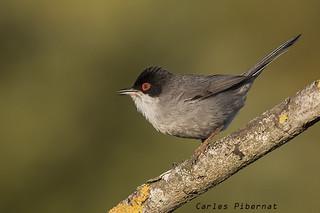 Tallarol capnegre, Curruca cabecinegra, Sardinian Warbler (Sylvia melanocephala). Male