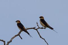 Greater Striped Swallow, Bornmansdrift, Clocolan, Freestate, Dec 2017 (roelofvdb) Tags: 2016 526 clocolan date december dwesa16 greaterstripedswallow place southernafricanbirds swallow swallowgreaterstriped year