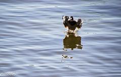 Je suis le roi du ski nautique... (Crilion43) Tags: vichy france oiseaux paysage rivière canard allier auvergne cane caneton corbeau corneille eau merle pigeon plage