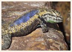 Desert Spiny Lizard (gauchocat) Tags: tohonochulpark tucsonarizona
