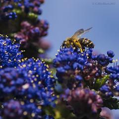 Wasp (Garry Blackburn) Tags: wasp insect closeup macro nature sonya7711 tamron90mm