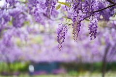 紫藤花 (Diego Chiu) Tags: 紫藤花 紫色 浪漫 flower 紫藤咖啡園 wisteria 紫藤 春天 spring bokeh