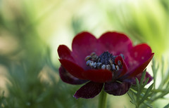 Rouge sauvage (Doriane Boilly Photographie Nature) Tags: fleurs rouge sauvage champs prairies couleurs flowers détails