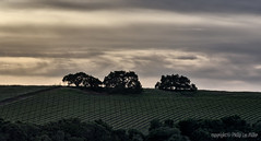 Frontline (philipleemiller) Tags: landscape nature d800 panoramas sunset trees vineyards carmelvalley california selectivecolor