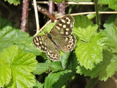 Speckled wood butterfly (deannewildsmith) Tags: speckledwoodbutterfly earthnaturelife staffordshire chasewater
