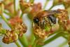 Miner bee feeding on Euphorbia flowers #1 (Lord V) Tags: macro bug insect bee minerbee andrena