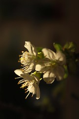 Körsbärsblom (Annica Spjuth) Tags: varkanslor fs170416 fotosondag körsbärsblom