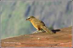 6829 - rufous  babbler (chandrasekaran a 40 lakhs views Thanks to all) Tags: greyheadedbabbler birds nature india tamilnadu kodaikanal canon powershotsx60hs