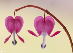 Two hearts... (Trayc99) Tags: heart bleedingheart flower floralart flowerphotography floral nature naturallight closeup macro beautyinnature beautyinmacro beautiful pink