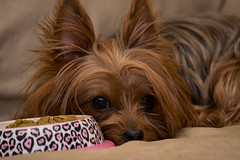 Belle (tgrachan) Tags: nikon d3300 dog yorkie portrait cute