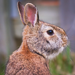 MH_128 (亞雲 Ed Lee) Tags: nikon d600 outdoor morning backyard portrait color colour closeup bokeh depthoffield animal mammal hair hare rabbit bunny fur cute ear eye spring 200500mm 56e