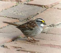 White-throated Sparrow (mahar15) Tags: birds outdoors wildlife sparrow nature whitethroatedsparrow