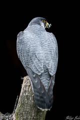 Wanderfalke / Peregrine falcon (Silu Junior) Tags: falcon falke wanderfalke vogel bird hawk greifvogel animal tier greifvogelpark