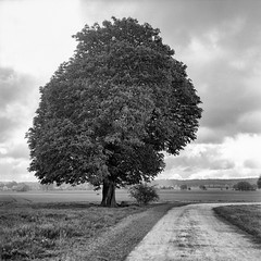 (salparadise666) Tags: mamiya c330 sekor 80mm fuji neopan acros 100400 caffenol semistand 36min nils volkmer vintage camera medium format square 6x6 tree nature landscape bw monochrome rural walnut field range hannover region calenberger land scenic niedersachsen germany