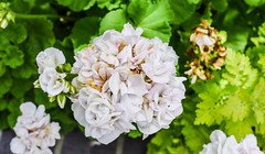 spring cluster (pbo31) Tags: livermore pleasanton california eastbay alamedacounty garden flower flora earth nature april 2017 spring boury pbo31 nikon d810 bloom white cluster green