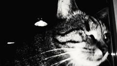 Franzl, looking for Lilli. (Yberle.Foto) Tags: katze kater cat femalecat bw sw