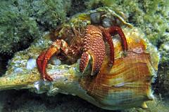 Caribbean giant hermit crab, Panama City Beach, Florida (Hawkfish) Tags: florida panamacitybeach floridapanhandle gulfofmexico standrewsstatepark snorkeling underwater marinelife canonpowershots100 caribbeangianthermitcrab gianthermitcrab hermitcrab crab petrochirusdiogenes