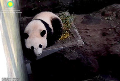 Good Morning!   ./rg783.png (heights.18145) Tags: smithsoniansnationalzoo beibei meixiang panda animals ccncby