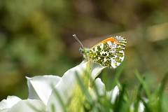 Male Orange Tip at rest (AndyorDij) Tags: maleorangetip orangetipbutterfly tulip tulips lavender insects insect butterfly bokeh andrewdejardin project365 england empingham rutland uk unitedkingdom 2017