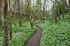 Garlic Trail (Philip McErlean) Tags: wild garlic ramsons carpet woodland glade path forest downhill northern ireland green white flowers wildflower trees leaves sony rx100 trail nature winding pathway glen wood