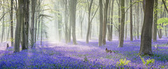 Misty Blue (Jerry Fryer) Tags: trees blue mist sunrays bluebells aforest beechwoods bluecarpet mistyblue woods mistymorning canon 5dsr ef24105mmf4l panorama landscape