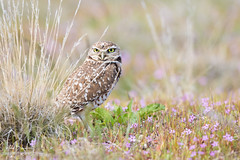 Burrowing Owl (m_Summers) Tags: avian utah winter northernutah nature western tecolotellanero animal elbúho wildlife bird lechuza konijnenuil sunset athenecunicularia owl burrowingowl