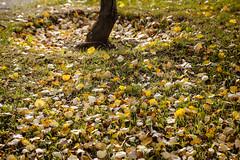 Otoño magallánico (Matías Garrido Hollstein) Tags: punta arenas puntaarenas magallanes chile extreme south endoftheworld estrecho estrechodemagallanes southofchile leaves autumn grass otoño hojas colores