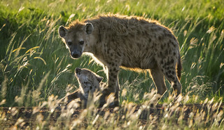 Hyena with Pup