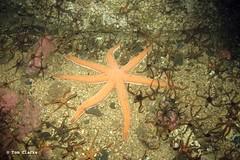 Seven armed starfish (Oikoman) Tags: farnes scuba uk diving luidia 7armed starfish