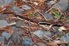 Western Red-backed Salamander (Shannon Bowley (TheTyro)) Tags: western redbacked salamander plethodon vehiculum amphibian wildlife
