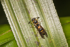 IMG_7109 potter wasp (vlee1009) Tags: potterwasp 2017 aprilwulai taiwan 生態 蜂