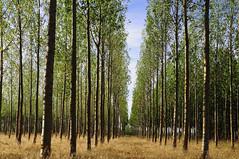Chopos (C.Frayle) Tags: lines nature naturaleza nikon natura árboles verde green chopos forest