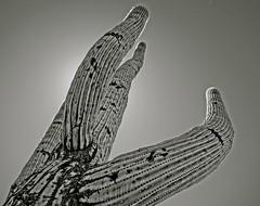 saguaro bumble bee rd arizona (Betty Winick) Tags: saguarocactus cactus saguaro camerapainting blackwhite bw desert arizonadesert bumblebeerdarizona