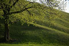 Finally green (achudziak) Tags: spring leaves tree grass green canon eos 6d ef 28 105 35 45 usm ii