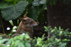 unknow wolf (scv1_2001) Tags: nikon nikon70200mmvrii nikond750 taiwan taipeizoo 台北市立動物園