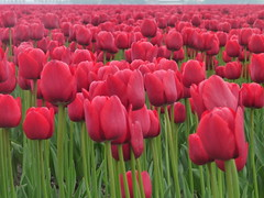 Red tulips from Holland (Ciska van Geer) Tags: netherlands tulips noordoostpolder tulpen tulpenvelden tulpenroute