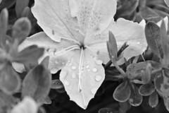 (superk3ll) Tags: blackandwhite flower nature leaves spring bush azaleas azalea