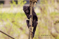 Climbing II. (Raveniith) Tags: wild black nature animal photography zoo sweden wildlife rope climbing ape primate grabbing canon60d