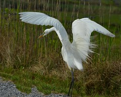 Great White Egret (KoolPix) Tags: bird nature animal wings wetlands marsh egret naturephotography greatwhiteegret naturephotos naturephotographer animalphotographer koolpix photocontesttnc12 jaydiaz jaydiaznaturephotographer photocontesttnc13 wcswebsite