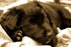 DSC_1843-Ret1.jpg (y.becart) Tags: dog chien black dogs animal race puppy labrador dof noiretblanc chienne doggy chiot pawn noirblanc chuiot